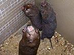 亚洲特有竹鼠全身是宝 它的胡须值多少钱?