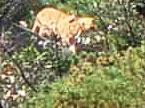 江西三清山拍到似老虎动物 专家称像华南虎