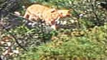 江西三清山拍到似<B>老虎</B><B>动物</B> 专家称像华南虎