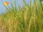 早籼稻略涨 今年最低收购价每斤1.32元