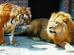 当狮子爱上了母老虎
