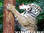 老虎爬树之谜