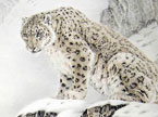 奇趣大自然20130325期:寻找雪豹